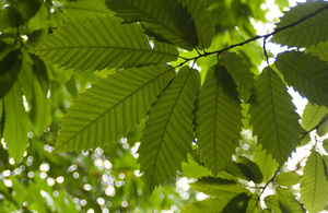 Leaves of a Sweet Chestnut Tree