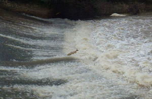 A salmon in mid-leap on the River Tone in Taunton