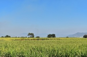 Image of sugar cane field in Mexico.