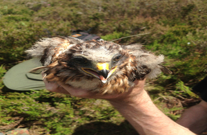 Hen harrier Mick