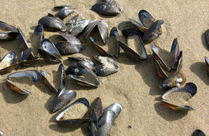 Stock image of mussel shells on a beach