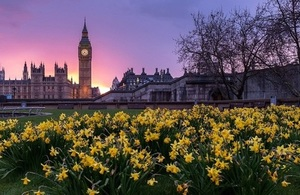Westminster and Daffodils