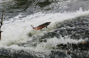 Salmon leaping in a river