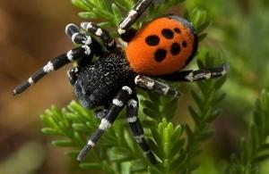 Ladybird spider © Stephen Dalton