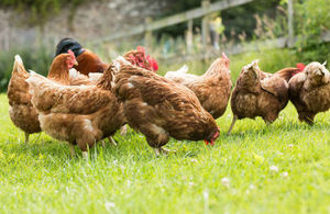 Chickens on a lawn