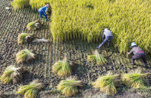 Farmers cut and thresh rice during harvest time in Xizhou Yunnan