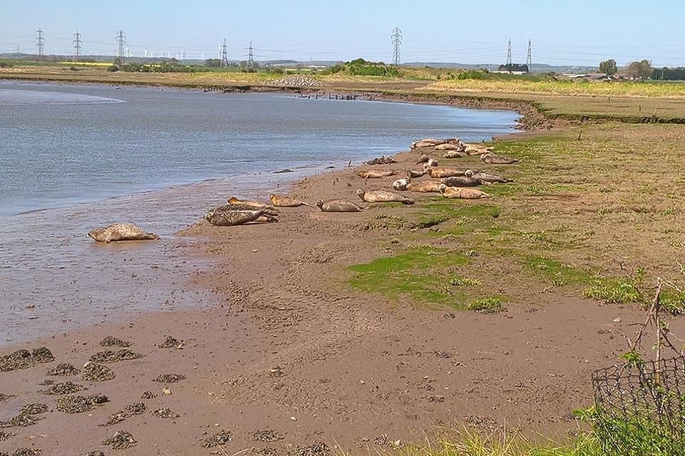 Image shows seals at Greatham Creek