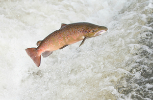 Leaping salmon in the River Severn