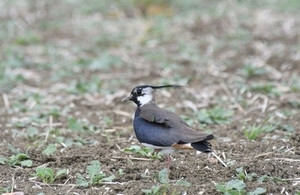 One of the wild bird species living alongside the A14 (lapwing)
