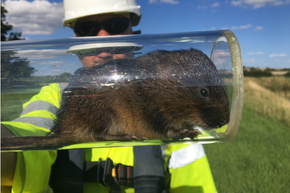 One of the ecologists at work releasing some of the water voles into their new habitat in August 2017