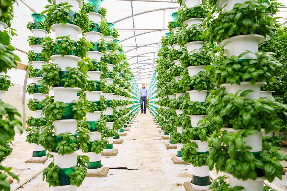 Crops being grown vertically in two aisles in a greenhouse, with man in background.