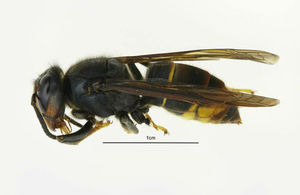 An example of an Asian hornet.