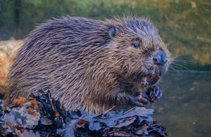 Beavers are set to be released in the Forest of Dean.