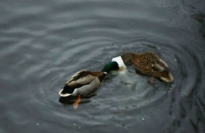 Ducks trying to eat the thrown flour filled plastic bags
