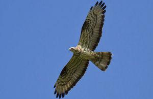 An image of a buzzard in flight