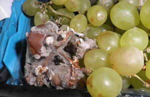 Image of rotten grapes