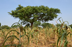 Fertiliser trees planted within the crops