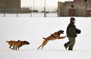 A handler in a protective bite suit is chased by 2 military working dogs during a demonstration [Picture: Corporal Gabriel Moreno, Crown copyright]