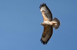A buzzard in flight