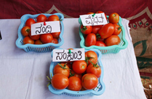 'Vybhav,' 'Nandi,' and 'Sankranthi', three improved tomato varieties with resistance to tomato leaf curl virus, one of the most devastating diseases of the crop. Picture: AVRDC