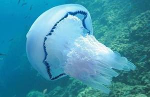 A barrel jellyfish