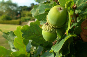 Close-up photo of a cluster of acorns on an oak tree in a field