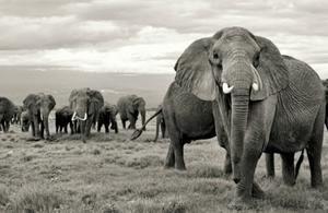 Elephants in a herd