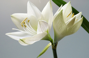 Photo of white lilies.