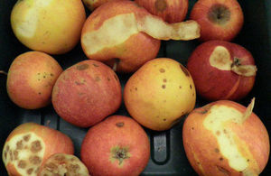 Picture of rotten apples