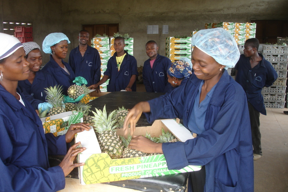 Workers packing pineapples for export