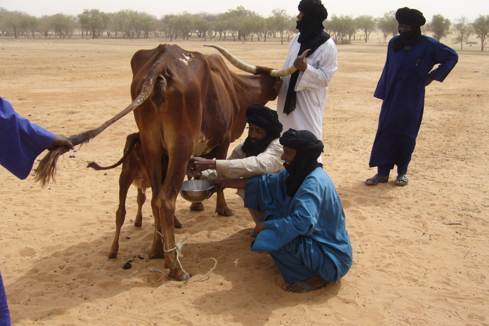 Niger 2008: Milking a DFID cow