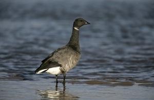 Dark-bellied brent goose (Credit: Getty Images)