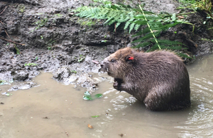 beaver in the Forest of Dean