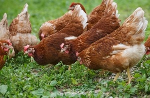 Credit: Getty Images Chickens in field