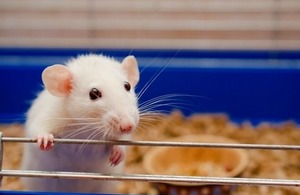 An inquisitive white rat in a cage via Kirill Kurashov at Shutterstock
