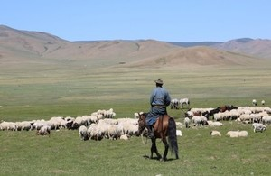 Man on horse herding sheep