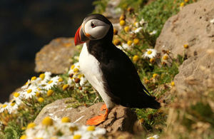 Image of puffin