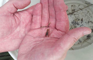 Baby crayfish in a man's hands