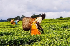 African women harvesting tea leaves on a plantation in the highlands of Western Kenya via Jen Watson at Shutterstock