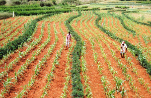 Farming Gliricidia and Maize. Picture: World Agroforestry Centre, ICRAF