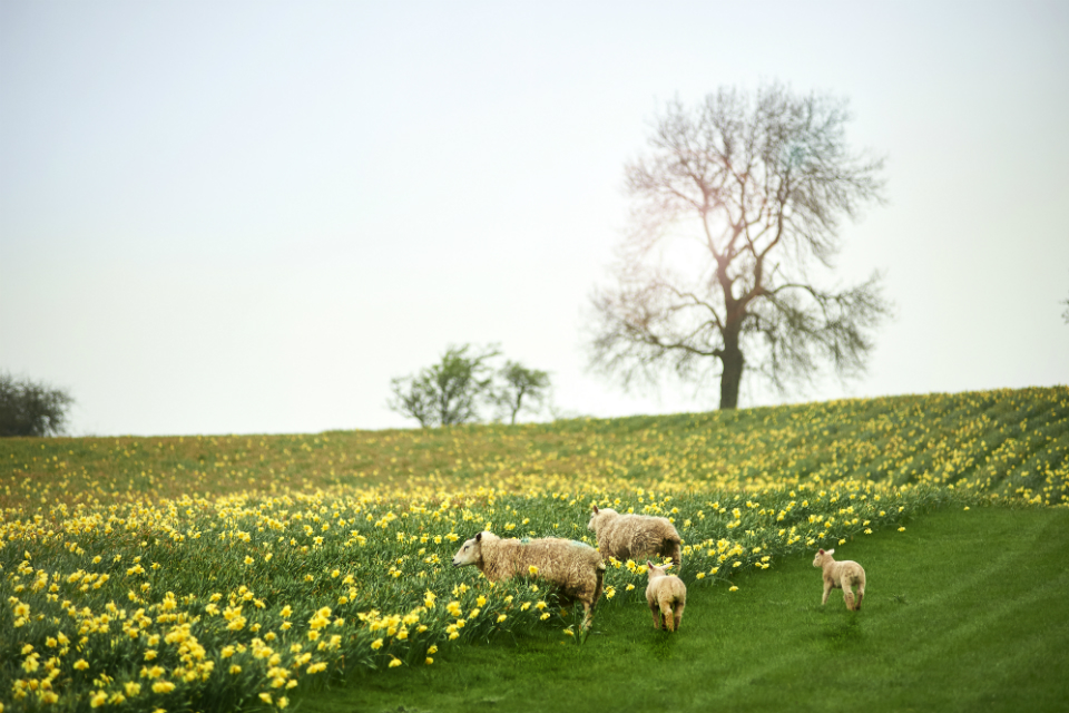 Sheep and daffodils in a field