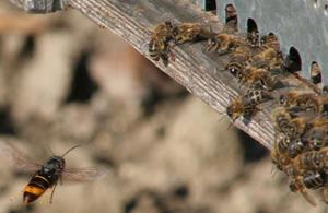 Asian hornet hawking honey bees