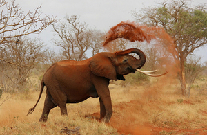An elephant cooling off by throwing dust with his trunk