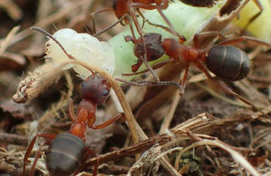 Working To Save England S Rarest Ant From Extinction Gov Uk
