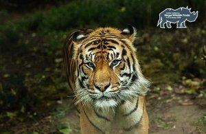 An endangered Sumatran tiger, pictured in London Zoo. Image: DFID