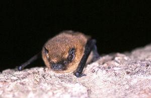 Picture of a common pipistrelle bat