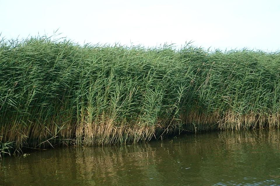 A reedbed at Stover Lake