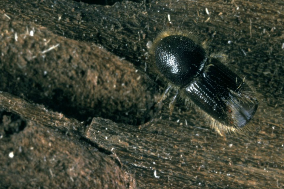 Photograph of an eight-toothed spruce bark beetle on some timber