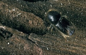 The tree pest eight-toothed spruce bark beetles (Ips typographus)