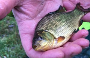 Gold-looking crucian carp in palm of hand